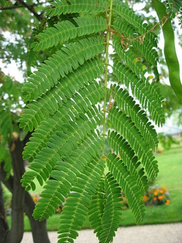 360px-Albizia_julibrissin_leaves_01_by_Line1